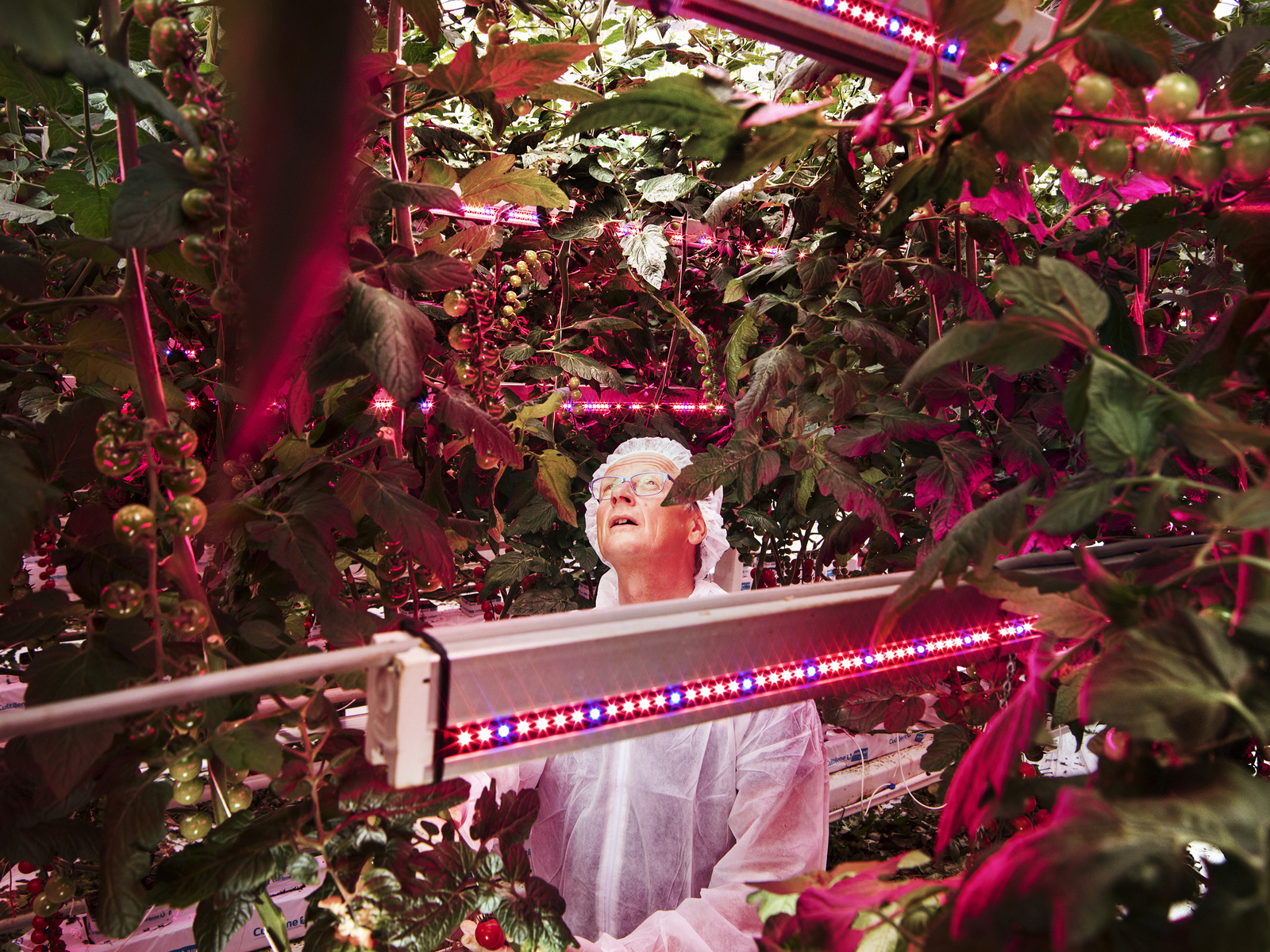 Inside this jungle of tomato plants illuminated by LED lighting Mr. Henk a leading world authority for growers inspects the plants. This picture is taken at Delphy, a research and development centre in the Netherlands where academia and the private sector join together for experimental research. How the future of sustainable farming could look like ? How the world is going to front the hunger crisis in the next decades ? Those questions brought me for @natgeo in the Netherlands to document this small country that has become an agricultural giant and it propose the most advanced high tech agro farming solutions to grow more with less.